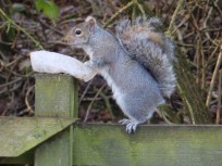 Squirrel stealing bird food