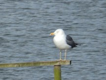 Lesser Black Backed Gull