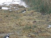 Lapwing and Snipe