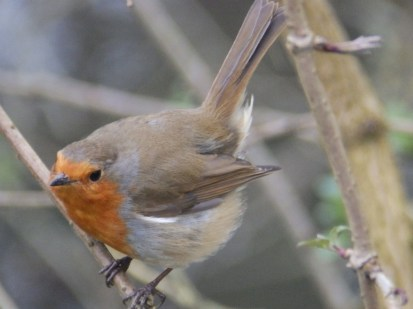 Robin - Ready for Action