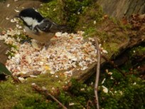 Coal Tit in the woods at Rufford Abbey