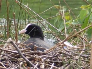 Coot nest, Arnold, NottsTAL CAMERA