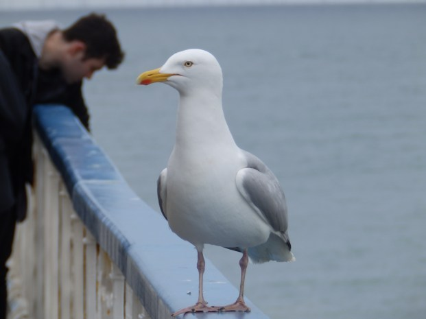 Herring Gull on Llandudno Pier