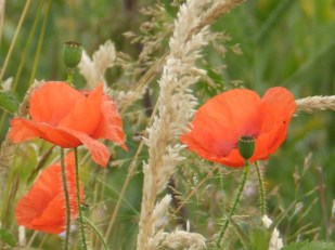 Poppies at East Leake