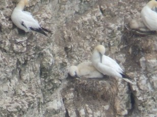 Gannet with chick