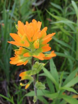 vibrant indian paintbrush