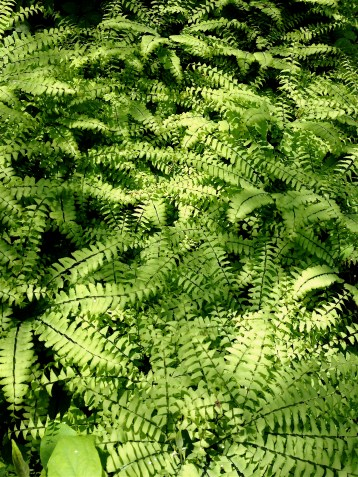 maiden's hair fern