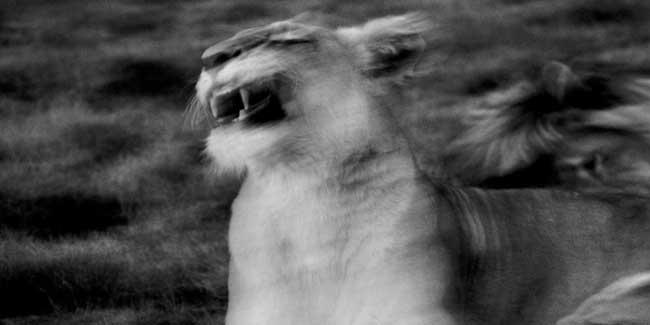 Soñar con leones que te persiguen