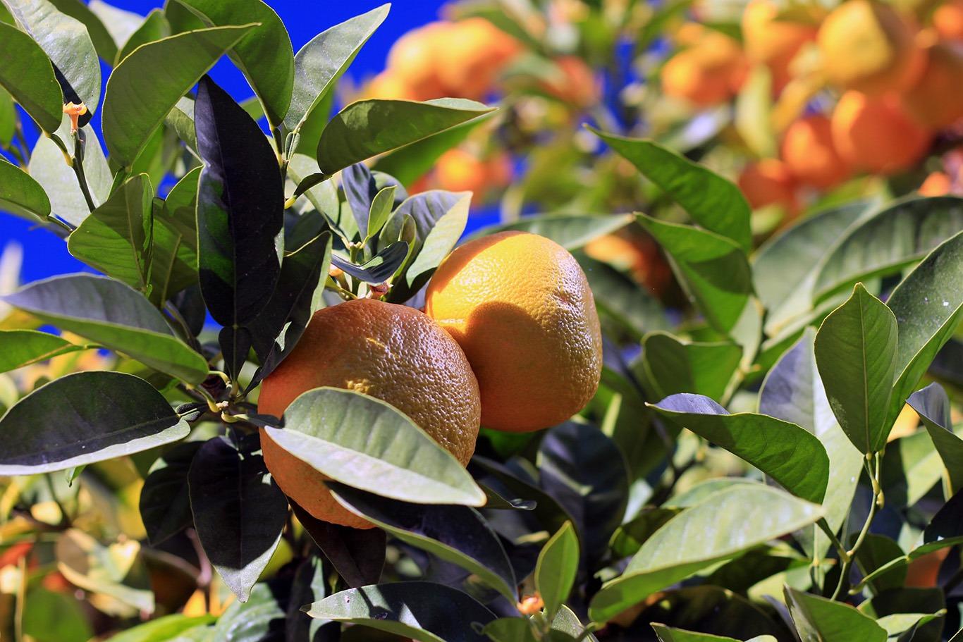 Севільські апельсини