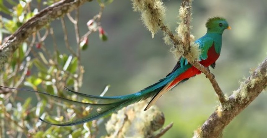 Image result for quetzal bird, panama