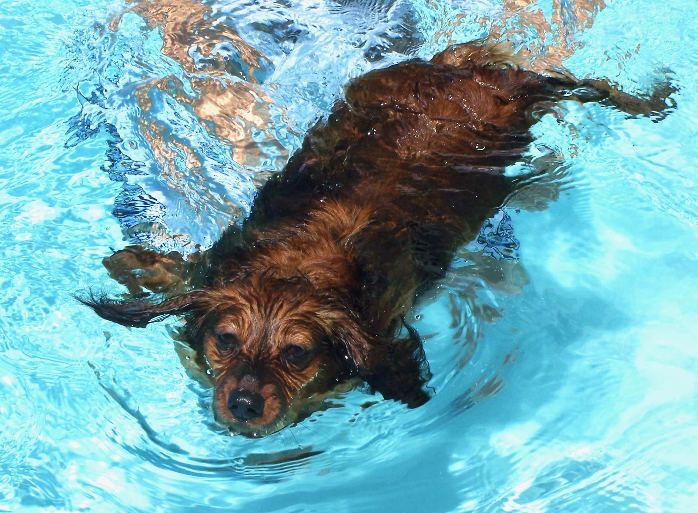 dachshund swimming in pool