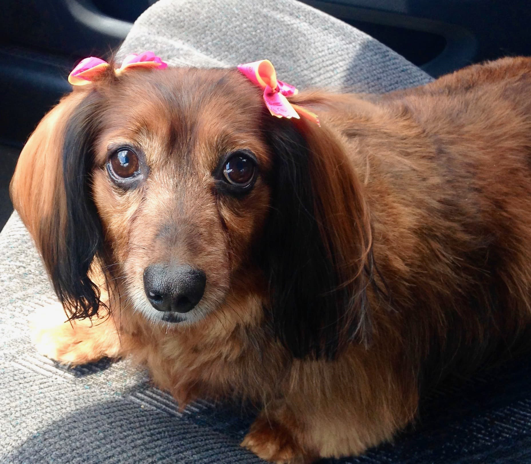 dachshund with hair bows