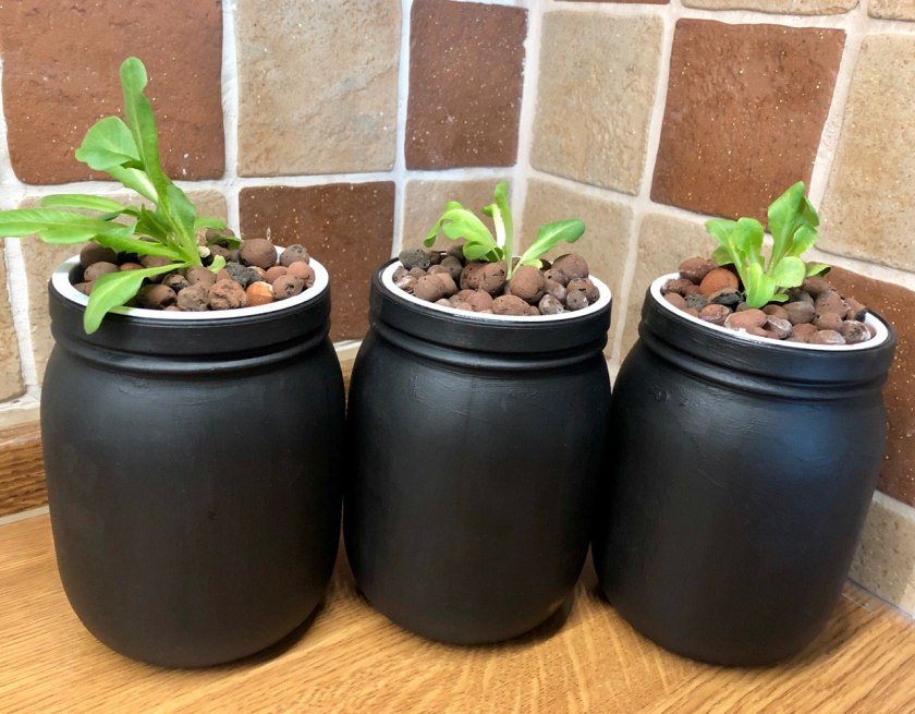 Week 1 Kratky Lettuce Compared