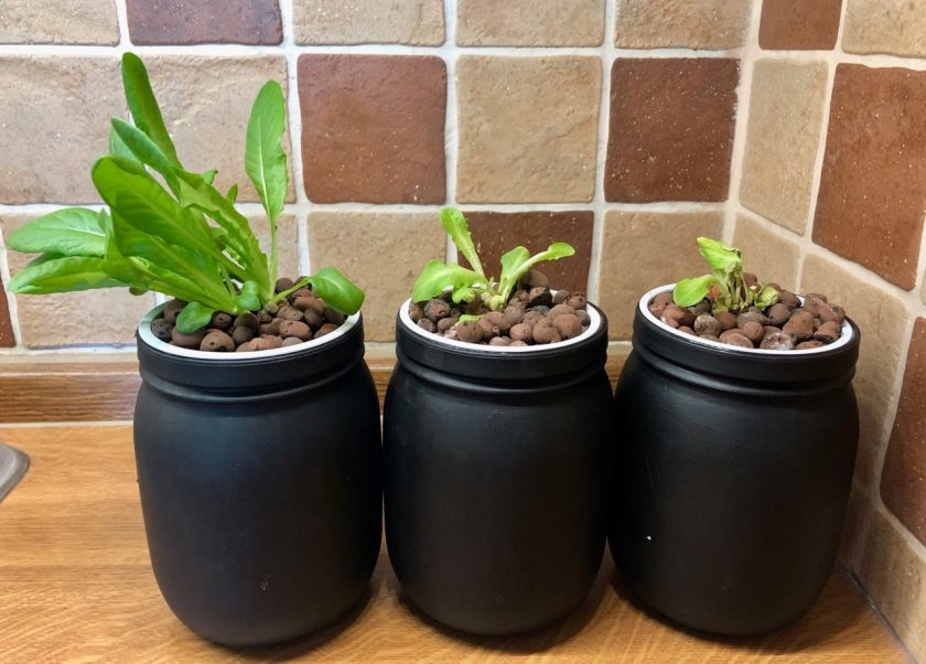 Week 2 Kratky Lettuce Compared