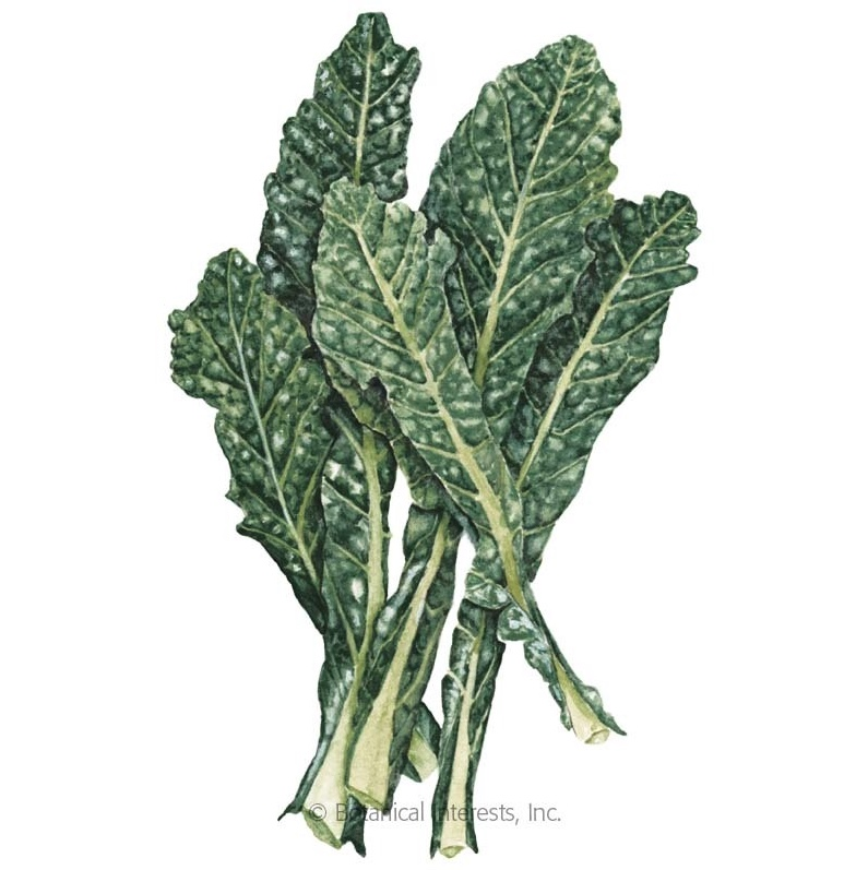 Nero Toscana Kale, Image Courtesy of Botanical Interets
