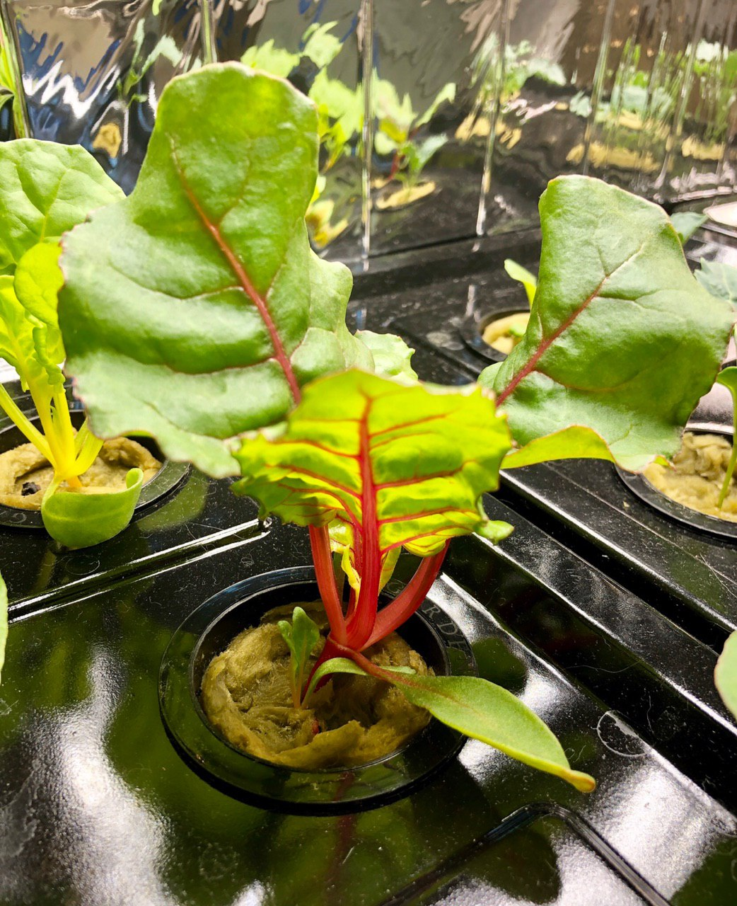 Bright Lights Swiss Chard Grown In Kratky Hydroponics Container, Week 2
