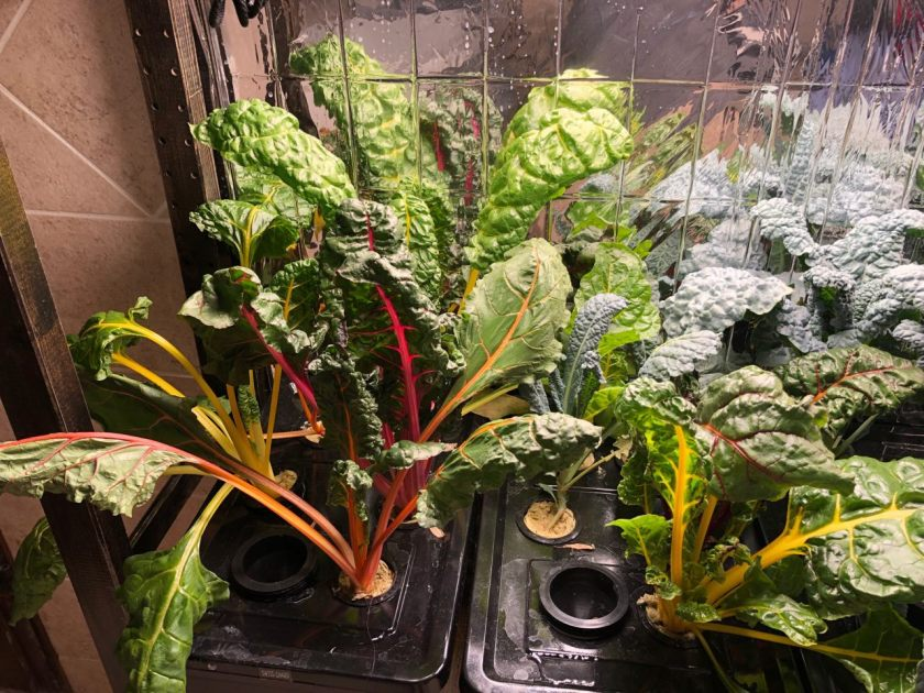 Bright Lights Swiss Chard Grown In Kratky Container, Week 5