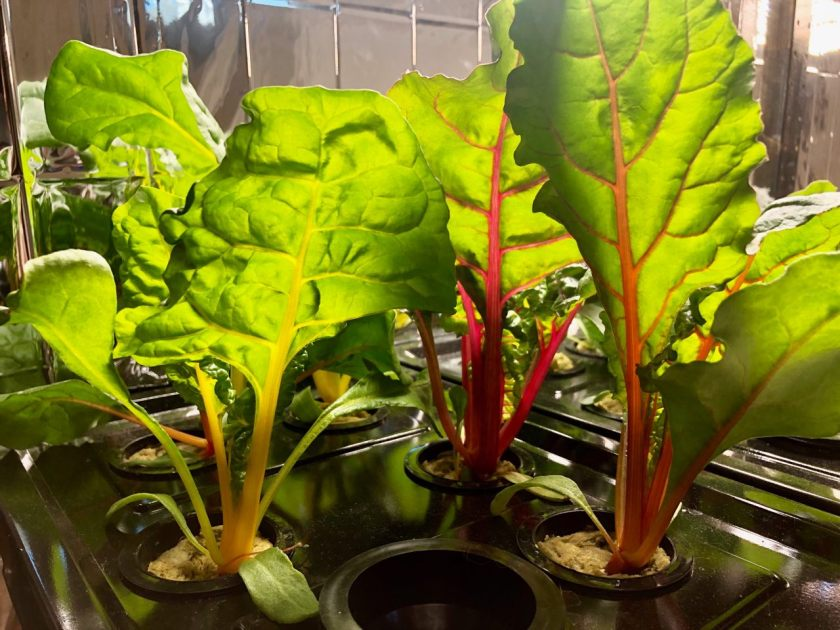 Bright Lights Swiss Chard Grown In Kratky Hydroponics Container, Week 3
