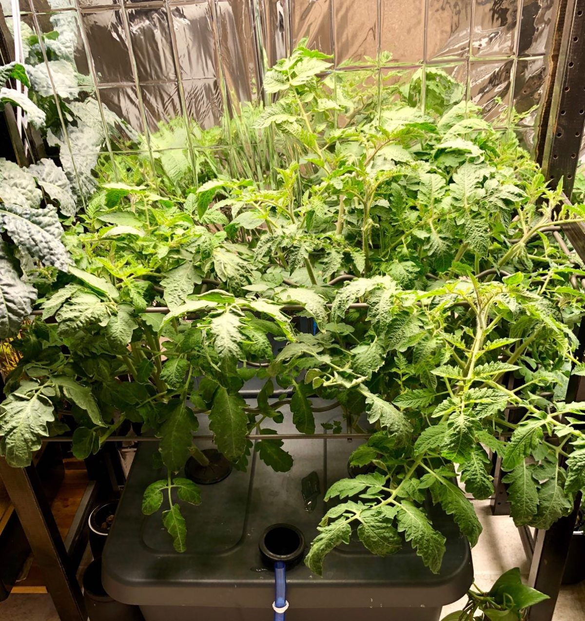 Growing San Marzano Tomatoes in Kratky Hydroponics – Update: Week 6