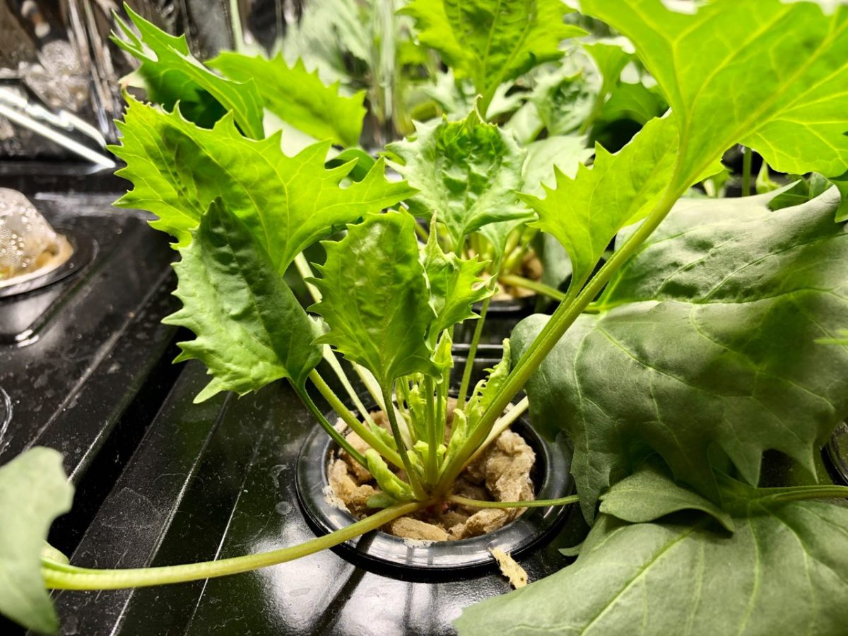 Growing Strawberry Spinach in Kratky Hydroponics – Update: Week 3