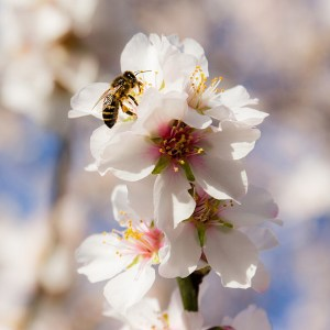 Image of almond blossoms and honey bee