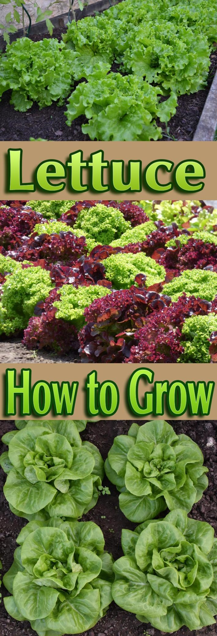 Lettuce – How to Grow