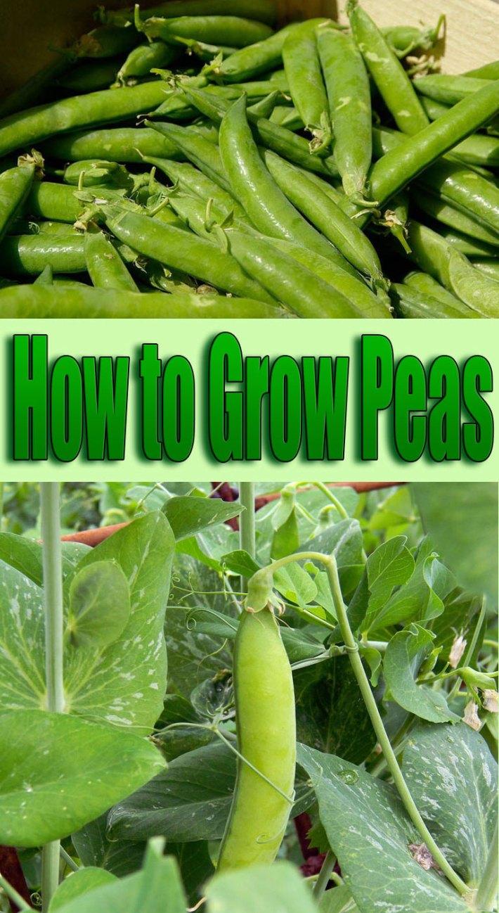 How to Grow Peas