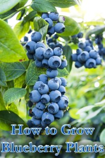 How to Grow Blueberry Plants