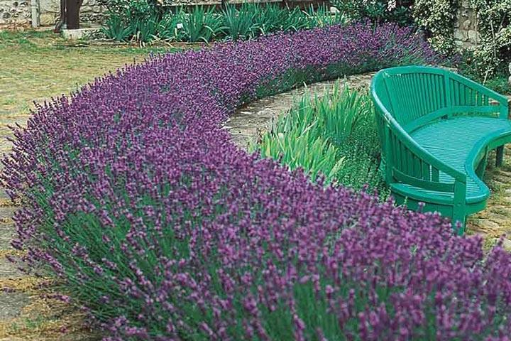 Lavender Hedge - Create and Care - Quiet Corner
