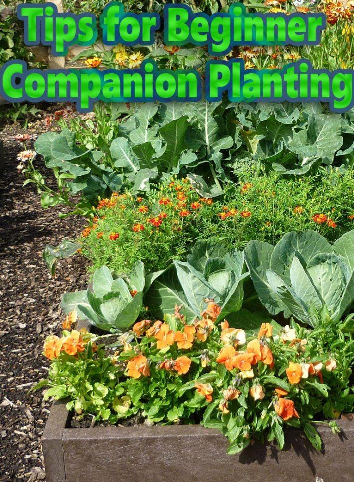 Tips for Beginner Companion Planting