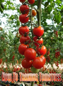 How To Training Tomatoes