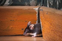 8 Poison-Free Ways to Get Rid of Mice