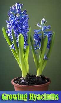 Hyacinth - Growing Guide