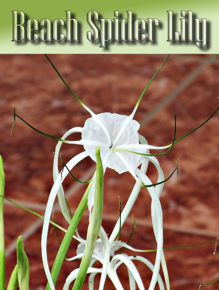 Beach Spider Lily – Growing Guide