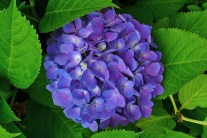 How to Grow Healthy, Happy Hydrangeas