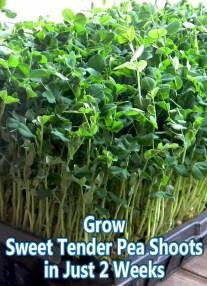 Grow Sweet Tender Pea Shoots in Just Two Weeks