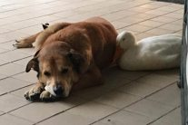 Duck cheers up dog who was depressed for two years after his best friend died