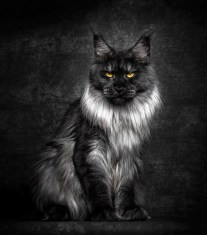 Strikingly Beautiful Portraits of Cats Kings - Maine Coons