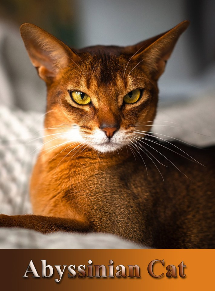 Breed Profile – Magical Abyssinian Cat