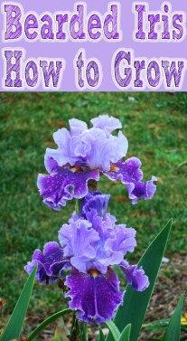 How to Grow Bearded Iris