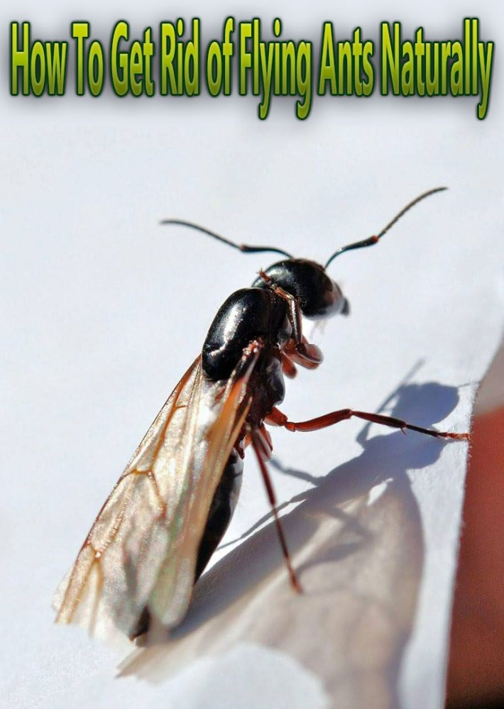 How To Get Rid of Flying Ants Naturally
