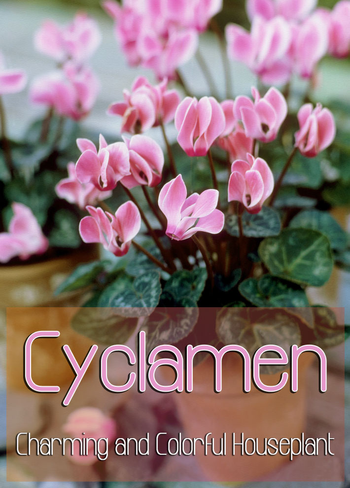 Cyclamen – Charming and Colorful Houseplant