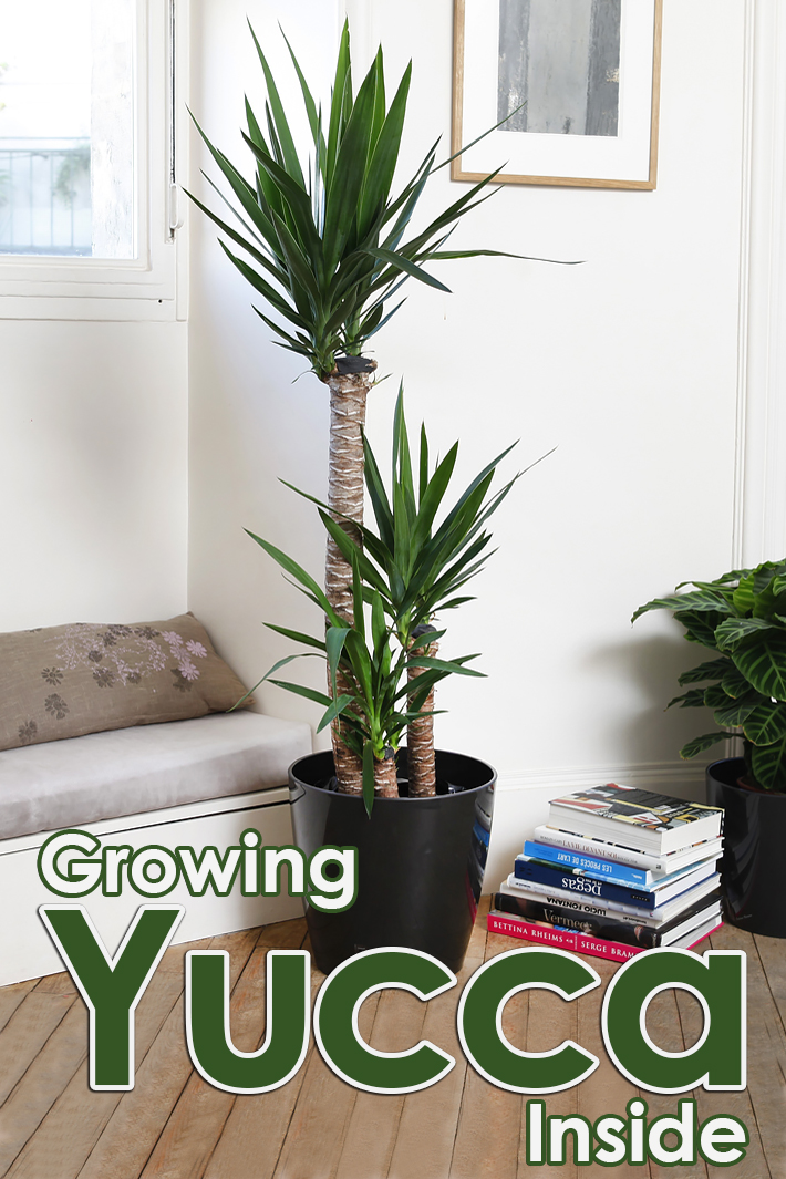 How to Grow Yucca Inside