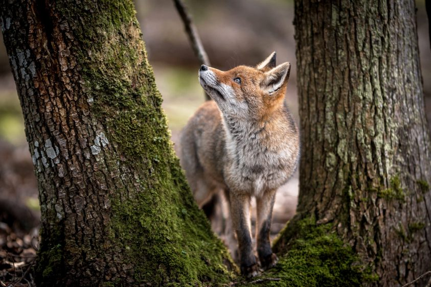 Quiet Language of Nature by Ellie Smart - Fox and Tree