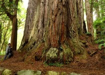 Road Trip – Walk in the Redwoods – May 2015