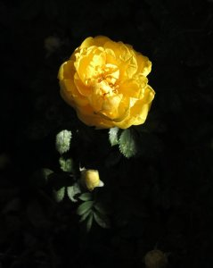 The Hidden Rose