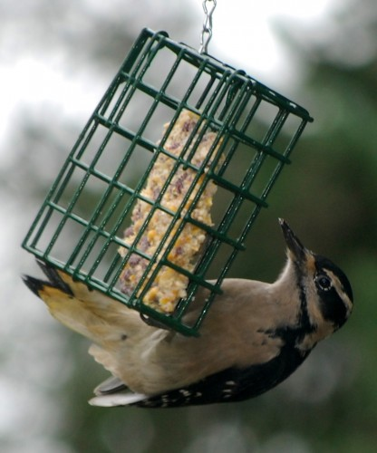a female Hairy Woodpecker hanging from a suet basket.