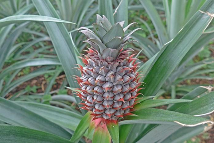 Plantações de Ananases. Ilha de São Miguel, Açores