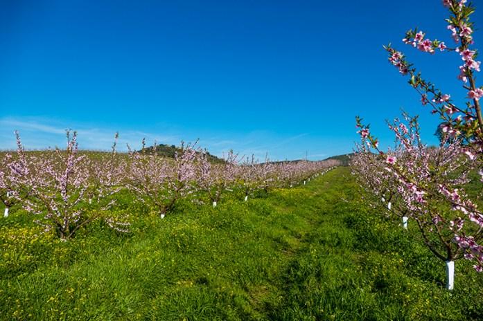 Rota das Amendoeiras e Pessegueiros em Flor