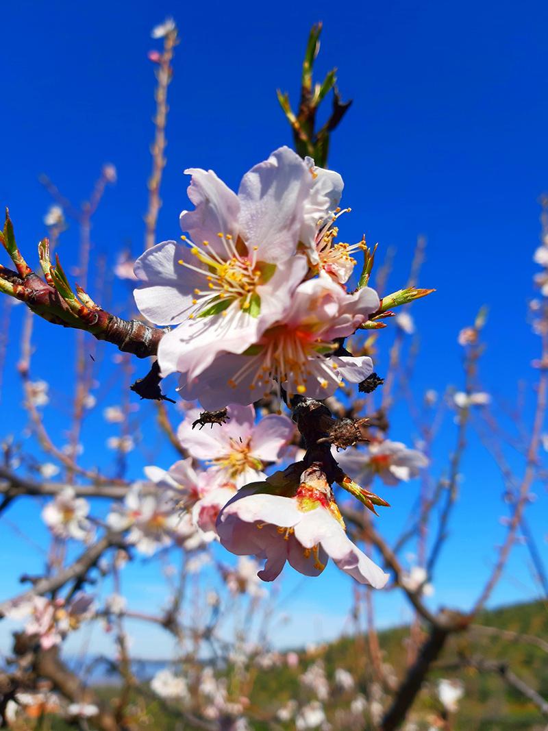 Alfândega da Fé: Rota das Amendoeiras e Pessegueiros em Flor